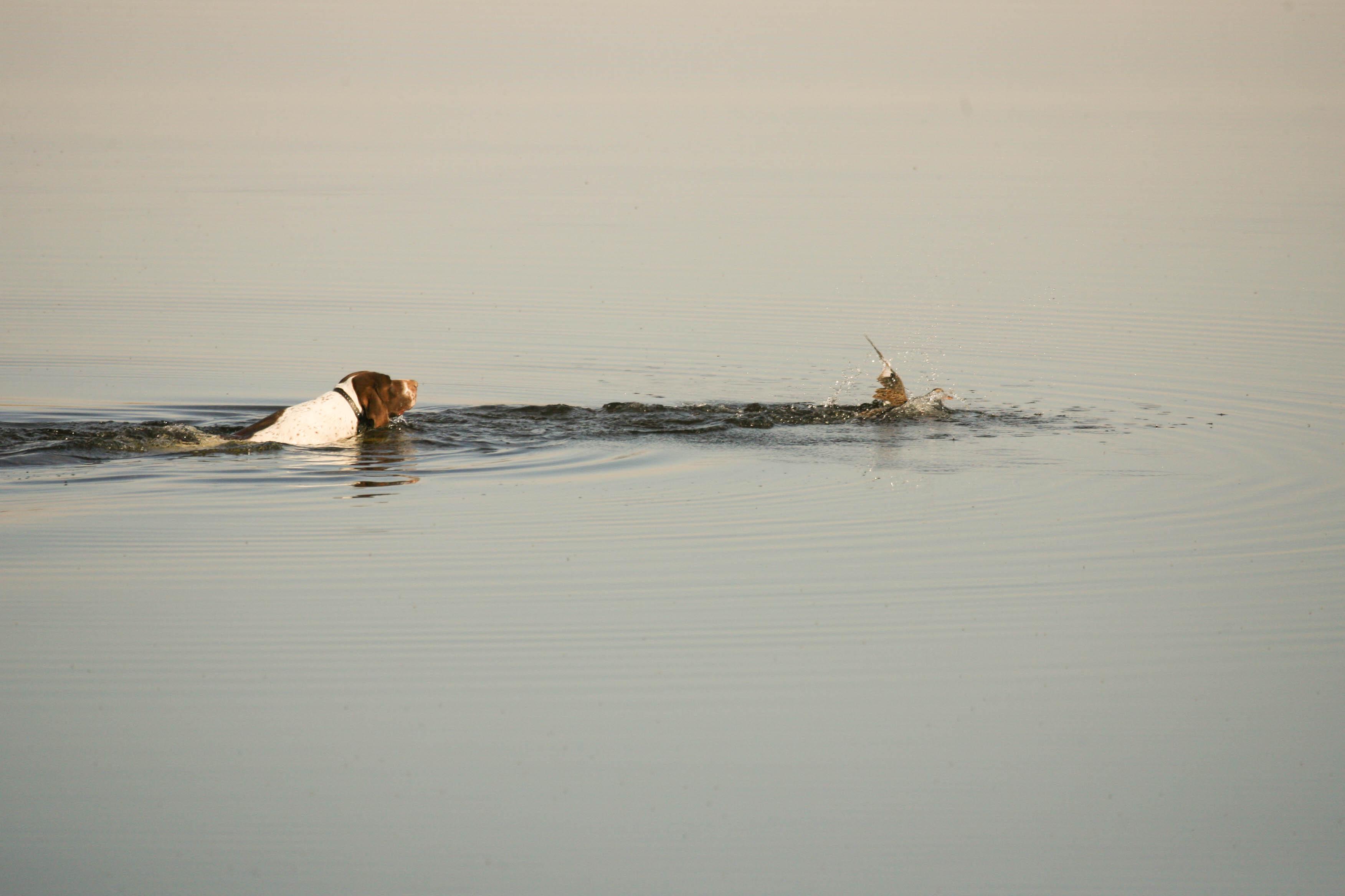 Indy on a duck retrieve.